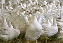 صورة فيروس أنفلونزا الطيور يقتحم بلجيكا